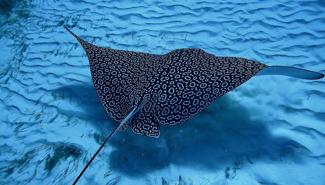 Eagle Ray Cantarel Cozumel