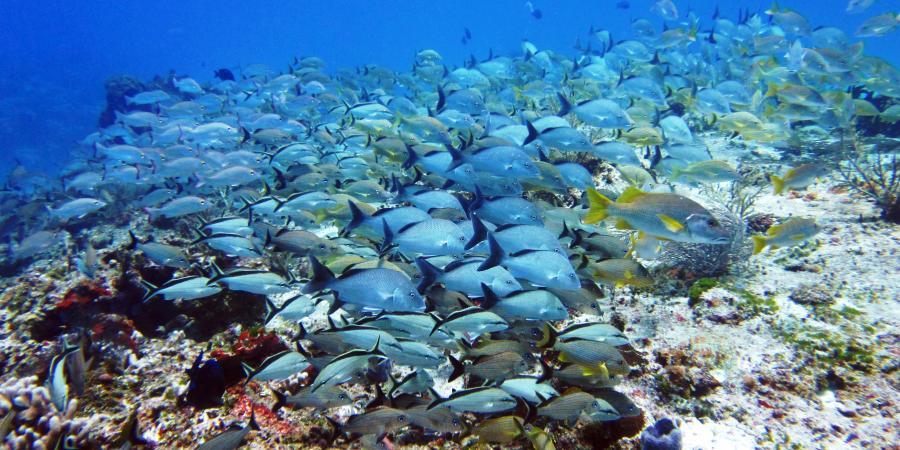 Schools Of Fish A